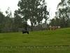 Australia. Pokaz psów pasterskich Border Collie w Lone Pine Koala Sanctuary w Brisbane.