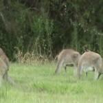 Australia. W golfa z kangurami i innym ptactwem.