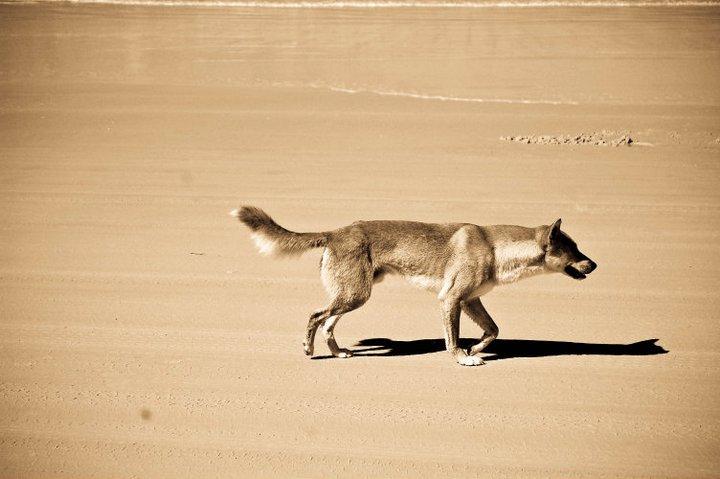 Dzikie psy Dingo – tak jakby wilki w Australii.