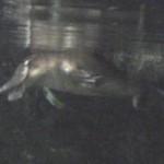 Australijski Platypus