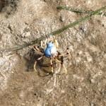 Soldier Crab – kraby żołnierze