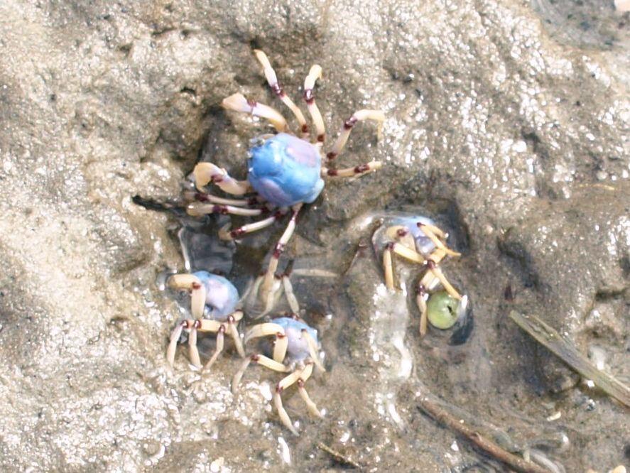 Filmik jak się krab żołnierz w piasek wkręcał