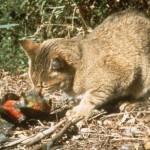 Dzikie koty (feral cats) w Australii