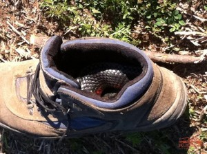 Redbelly snake in the shoe